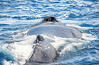 When a humpback whale, Megaptera novaeangliae, exhales, the blow can exit the whale at 150 - 300 miles per hour.  The sea water on itís blowhole is vapourized and shot 20 to 25 feet into the air creating the ìblowî, or spout. This individual is now inhaling with itís twin blowhole wide open, Hawaii.
