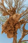 Namibia, Namib-Naukluft National Park, weaver bird nest , camel thorn