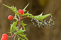 370600002 a wild humpback orbweaver spider eustala anastera on an agarita plant berberis trifoliata in the texas hill country