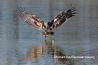 00807-03813 Bald Eagle (Haliaeetus lecocephalus) immature fishing Clinton Co. IL