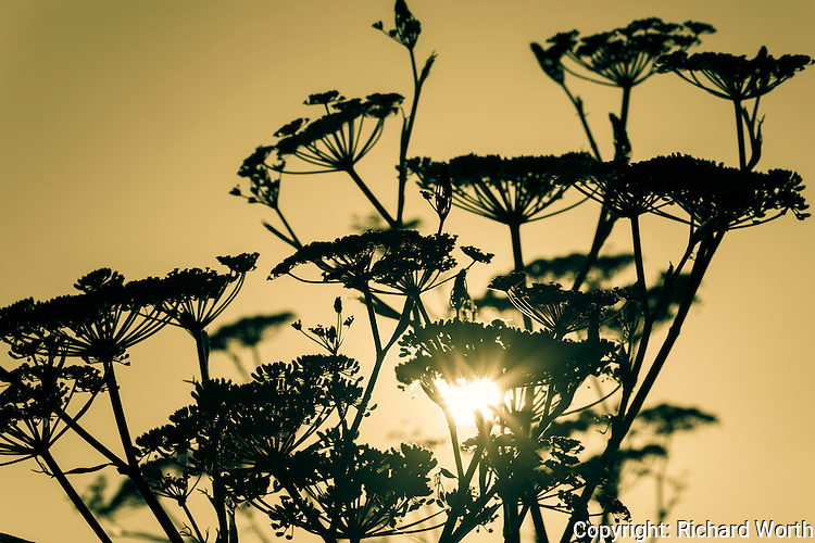 The umbrella shaped sweet fennel flowers point up while a sunburst shines through a natural bouquet along the eastern shore of  San Francisco Bay.