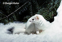 MA06-131x  Short-Tailed Weasel - ermine exploring forest for prey in winter, camouflaged - Mustela erminea