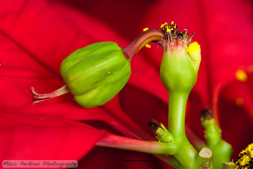A single female poinsettia flower with stigma, style, and enlarged ovary can be seen emerging from its involucre (cluster of bracts fused together) on a thick pedicel (stalk) that's almost as long as the flower itself.  Also emerging from the involucre are a number of withered male flowers (stamen and anthers both visible) that still have yellow pollen on them.  The involucre has a nectar gland emerging from it (that look like two yellow lips).  The involucre also has small saucer shaped structures emerging from it; I'm not sure what they are (they're more easily visible in my other Poinsettia pictures).  The entire inflorescence (involcure, male flowers, and female flower) is called a cyanthium.  The cyanthium is growing up from a stem's branching point, where a bract is emerging and a bud scar from a fallen bract or cyanthium is visible.  The red leaves surrounding the inflorescences (mostly out of focus) are bracts.  The scale bar (at the bottom) is 5mm long.