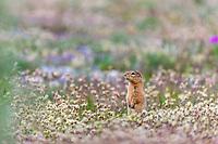 Arctic ground squirrel on the tundra, Arctic National Wildlife Refuge, arctic, Alaska.