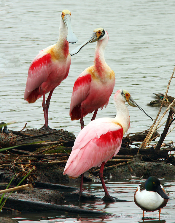 Group of adult roseate spoonbills. Also note a male northern shoveler, a male blue-winged teal and a female green-winged teal in the picture.