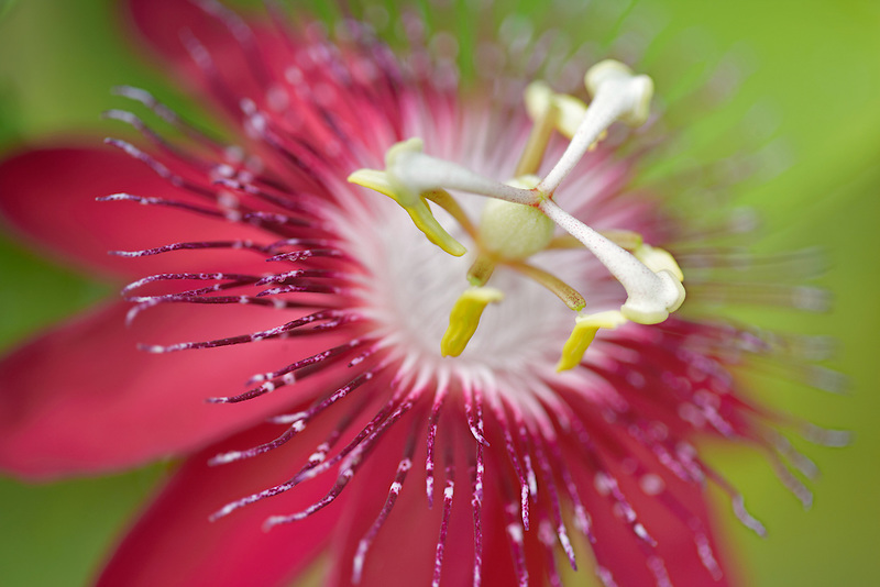 Lady Margaret passion flower. Hughes Water Gardens. Oregon