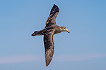 Southern Giant Petrel, On Way From Tierra Del Fuego Towards The Falkland Islands