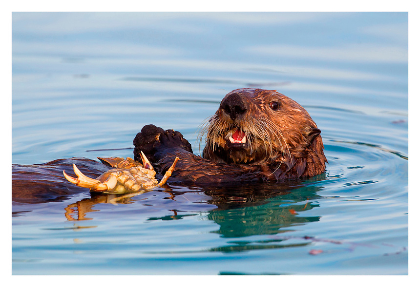 otter eating crab Valdez, AK