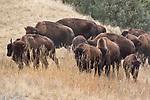 bison; running; fall; colors; coulors; autumn; foilage; bozeman; montana; gallatin; mountain; range; bull; buffalo; young; yearling; herd; hillside; flying; D; ranch; spanish; creek; trail