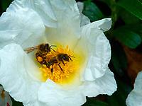 Two bees on a cistus flower.<br /> Deux abeilles sur une fleur de ciste.