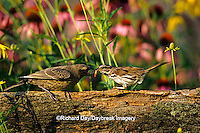 01575-00908 Song Sparrow (Melospiza melodia) feeding Brown-headed Cowbird (Molotrhus ater) on fence Marion Co. IL
