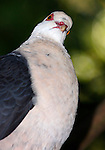 White-headed pigeon, Columba leucomela