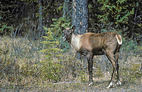 Woodland Caribou: Mountain Caribou ecotype (Rangifer tarandus caribou) in spring in the Rocky Mountains of Jasper National Park, Alberta, Canada. Mountain Caribou are considered to be the most endangered large mammal in lower 48 states of U.S.A. and a threatened species in Canada.