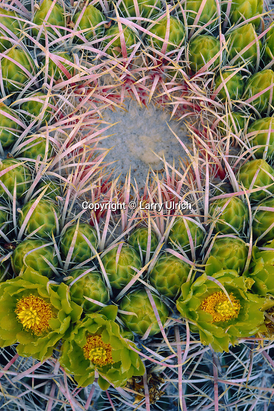 California barrel cactus <br />