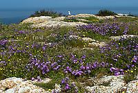 Italia, Isole Tremiti.<br /> Isola di San Nicola. <br /> Italy, Tremiti islands.<br /> San Nicola island.