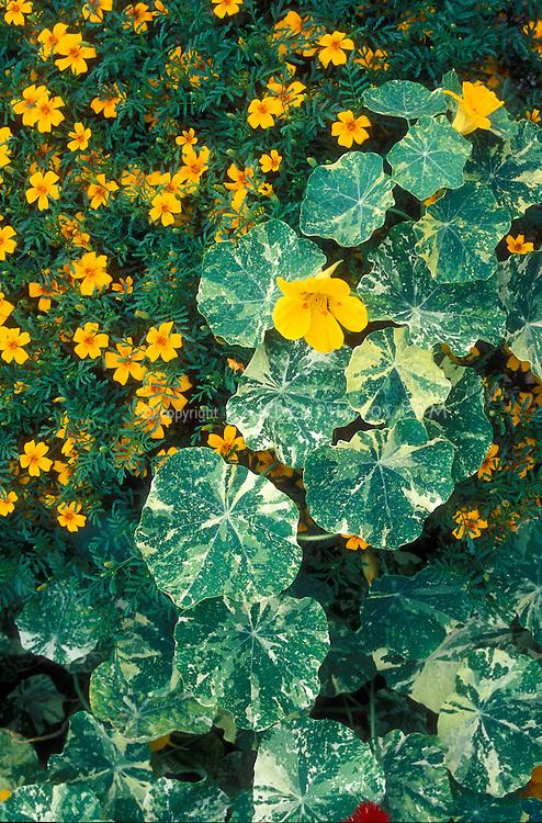 Tropaeolum 'Jewel of Africa' variegated nasturtium & Tagetes 'Golden Gem' marigold