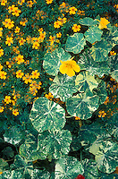 Tropaeolum 'Jewel of Africa' variegated nasturtium & Tagetes 'Golden Gem' marigold