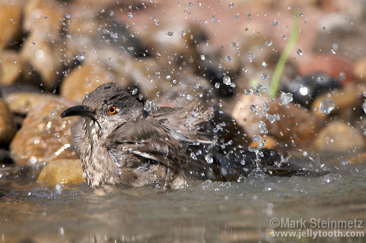 Curve-billed Thrasher (Toxostoma curvirostre) bathing. A desert bird native to the southwestern United States and Mexico. Texas, USA.