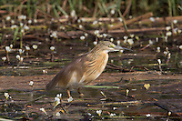 Squacco Heron in the Okavango Delta