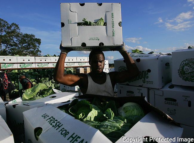 Marcus Calhoun stacks boxes of freshly cut cabbage for shipping from Baylor Farms in west Flagler County, Wednesday, Jan. 5, 2005.(Brian Myrick)