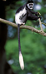 Colobus Monkey, Colobus guereza, captive, originates from Kenya, Central Africa  .Indonesia....