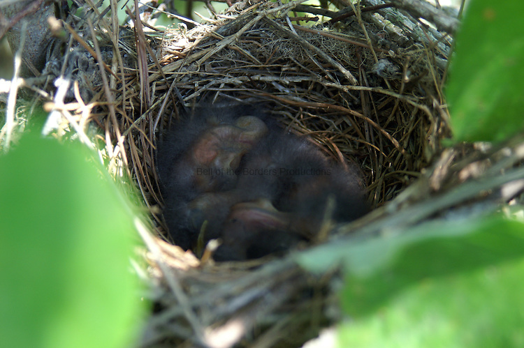 Four baby mocking birds sleep in their nest, while their parents rustle up the next meal.
