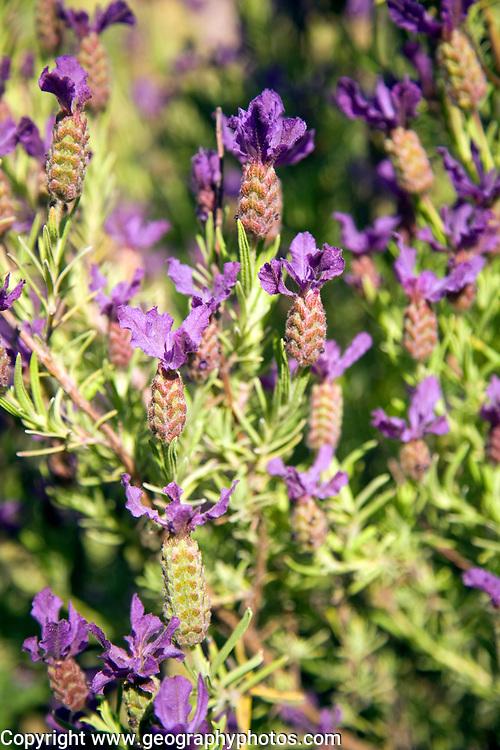 Lavender plant flowers close up