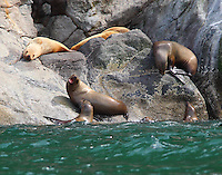 Steller's sea lions. A territorial dispute as one animal seeks to climb out of water onto rock.