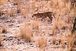 Tiger, Ranthambore National Park, India