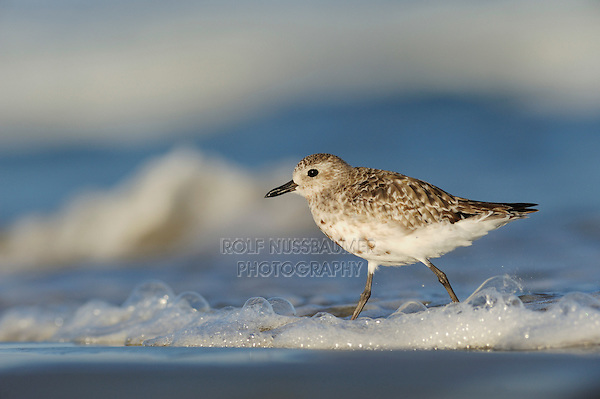 Black-bellied Plover (Pluvialis squatarola), adult, Port Aransas, Mustang Island, Texas Coast, USA