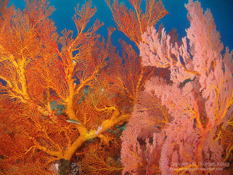 Ulong Channel, Palau -- Huge orange-pink sea fans.
