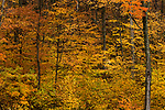 Sugar Maple (Acer saccharum) trees in northern hardwood forest in autumn, Williamstown, Berkshires, Massachusetts
