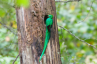resplendent quetzal, Pharomachrus mocinno, adult male with berries at nest, Costa Rica, Central America