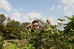 Kendrick Brinson.LUCEO Images..Daniel Hoover picks okra in the Historic Mableton Community Garden in Mableton, Georgia September 14, 2011. Daniel is the lead volunteer for AARP's plot in the garden...Model Released: Yes.AARP Contract #7113.WICHITA/Bellovin/AARP Bulletin Today