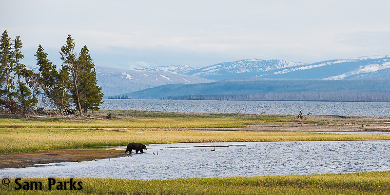 Grizzly bear on the shore of Yellowstone Lake. Yellowstone National Park, Wyoming.