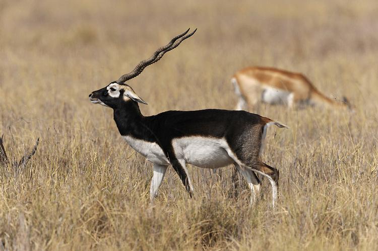 Blackbuck Antelope - Antilope cervicapra