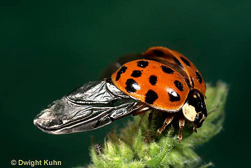 1C01-055b  Asian Ladybug lifts from plant showing underlying wings, Harmonia axyridis