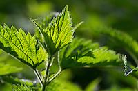 Große Brennnessel, junge, frische Blätter im Frühjahr, Blatt, Brennessel, Urtica dioica, Stinging Nettle