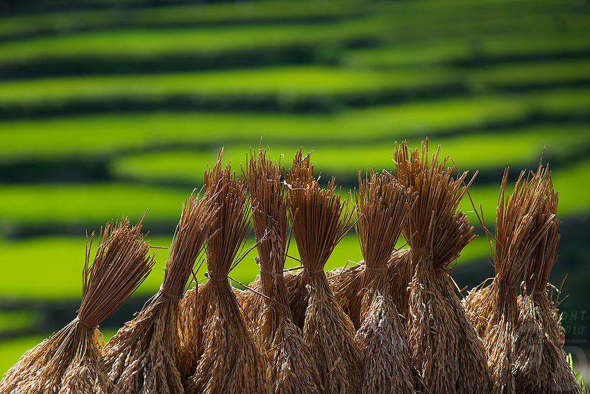Rice bundles along the the road to Bontoc Mountain Province Rice Terraces Philippines