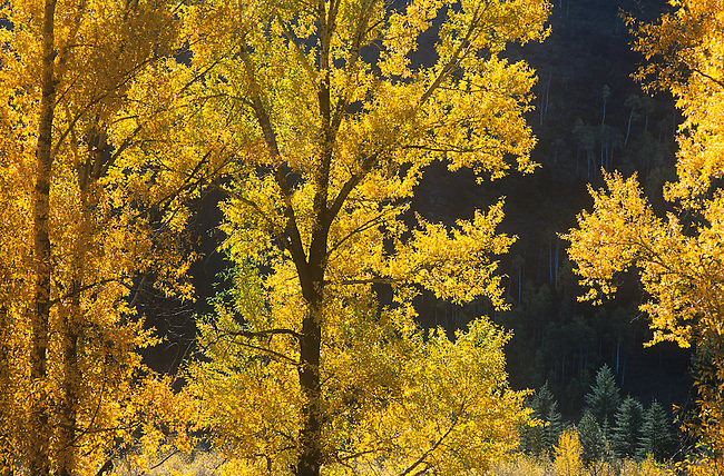 Autumn, Crystal River Valley, Aspen Trees, Colorado