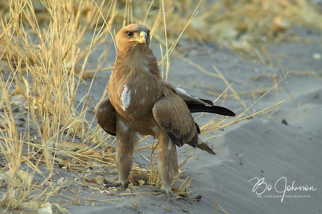 A tawny eagle (aquila rapax) resting close to the main track to Savuti, Botswana.<br /> September 2007.