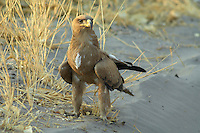 A tawny eagle (aquila rapax) resting close to the main track to Savuti, Botswana.<br />