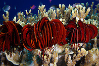 Colorful Crinoids or Feather Stars sit on top of a coral reef in Kimbe Bay, New Britain Island, Papua New Guinea.