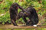 Bonobos play fighting in water (Pan paniscus), Lola Ya Bonobo Sanctuary, Democratic Republic of Congo.