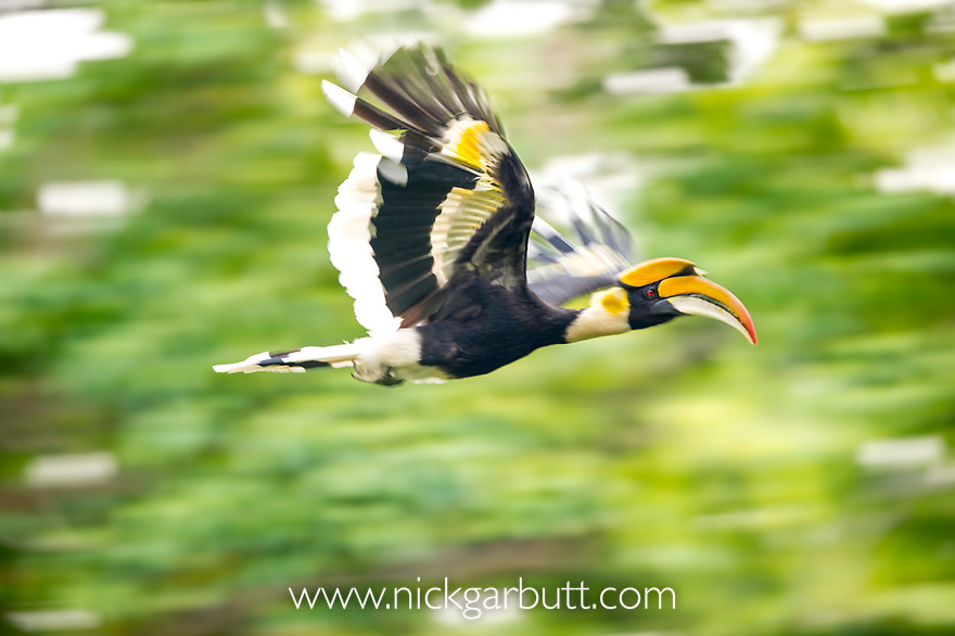 Great Indian Hornbill (Buceros bicornis) in flight. Kaziranga National Park, Assam, North East India.