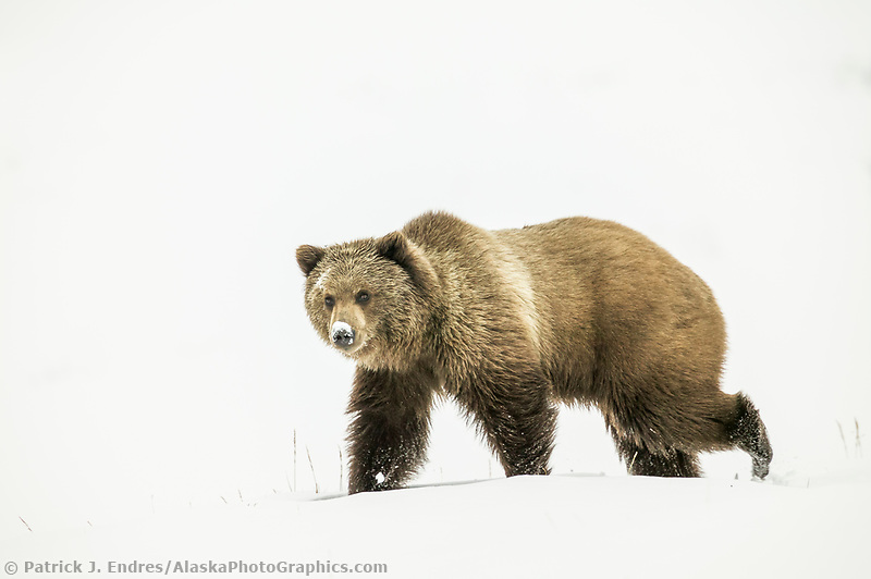 Grizzly bear in the fresh winter snow in Atigun canyon, Brooks Range, Alaska