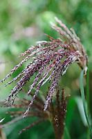 Miscanthus Sinensis Malepartus