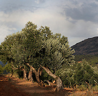 Olive trees, Horta de Sant Joan, Terra Alta, Tarragona, Spain. Picture by Manuel Cohen