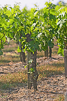 The vineyard with merlot vines with flower buds and grass Chateau Paloumey Haut-Medoc Ludon Medoc Bordeaux Gironde Aquitaine France