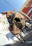 Fisheye of a donkey waiting for tourist in Fira, Santorini, Greece